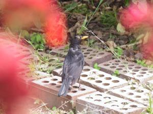 IMG_0456Blackbird 2012 12