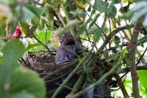 IMG_0516Blackbirds011Last to leave